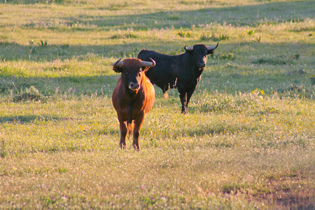 bos: Spanish free range Fighting Bulls breed free-range on extensive estates. Fighting bulls are selected for a certain combination of aggression energy strength and stamina