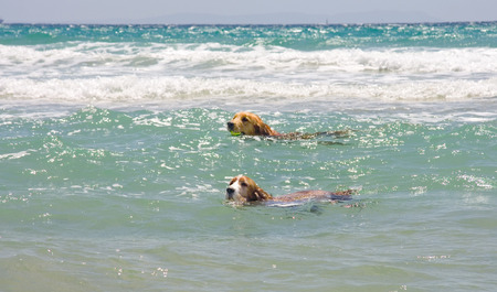 tarifa: Dogs swimming hard in the ocean, Tarifa, Spain Stock Photo