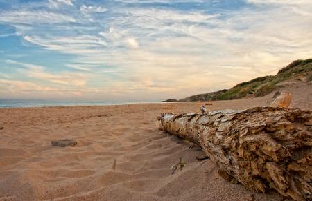 tarifa: Dead tree trunk on beach in sunset time, Spain