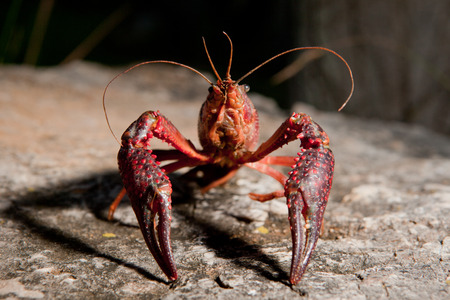 invasive species: Portrait of procambarus clarkii, a freshwater crayfish species, native to the Southeastern United States, but found also on Europe, where it is an invasive pest Stock Photo