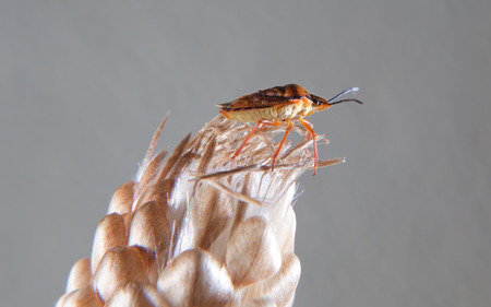 interesing: True bug Carpocoris fuscispinus climbing a dry flower. Interesing small insect also called stink beetle Stock Photo