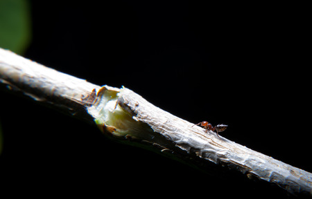 interesing: Ants Crematogaster scutellaris climbing an ivy branch. Interesing small insect on a night take Stock Photo