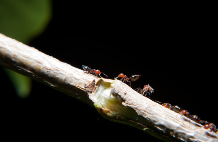 Ants Crematogaster scutellaris climbing an ivy branch. Interesing small insect on a night take Stock Photo