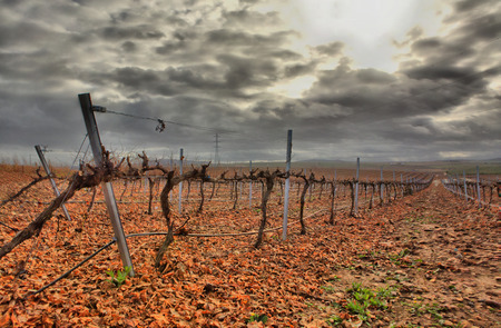 species of creeper: Cropland of Vineyards in winter Badajoz, Spain. Looking vineyard rows with red and yellow leaves in autumn