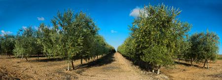 Intensive olive tree plantage, Badajoz, Spain. Panoramic shot