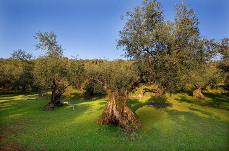 Mountain olive tree plantation photo