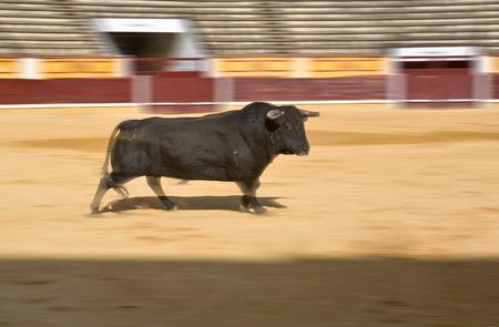 begining: Bull in esecuzione all'inizio di corrida. Colpo Panoramica