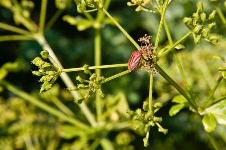 lineatum: Black orange striped bug, graphosoma lineatum, on green branch, Spain