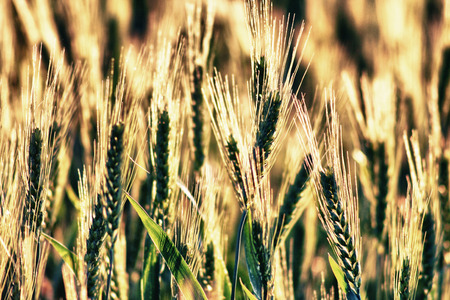 Beautiful wheat field. Closeup on a quiet background, Spain photo