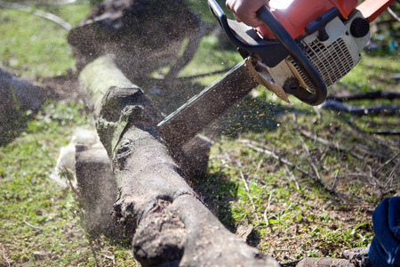 Lumberjack worker cutting holm oak firewood with a chainsaw photo