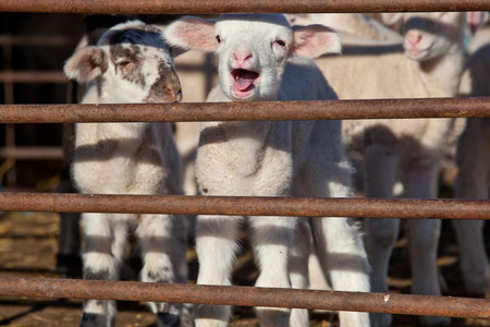 fenced in: Some young lambs running and playing  fenced in