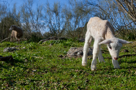 maternal: Baby lamb and her maternal watching mother, Extremadura, Spain