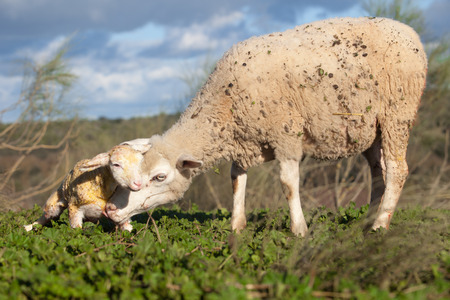 maternal: Baby lamb and her maternal sheep mother just after the birth, Extremadura, Spain Stock Photo