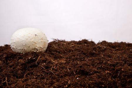 black soil: White mushroom growing over black soil. Isolated over white background