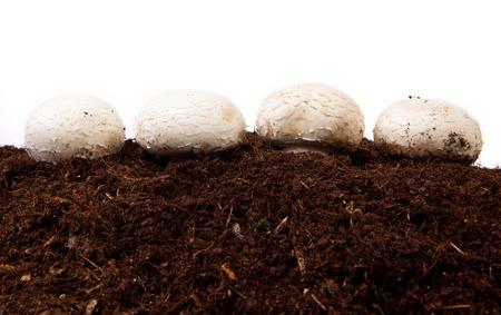 black soil: White mushrooms growing over black soil. Isolated over white background Stock Photo