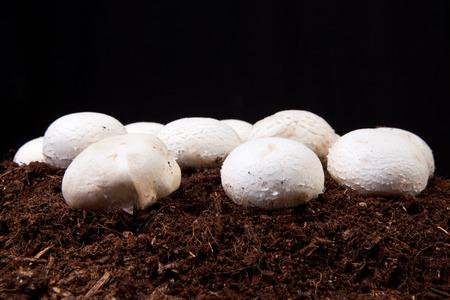 black soil: White mushrooms growing over black soil. Isolated over black background Stock Photo