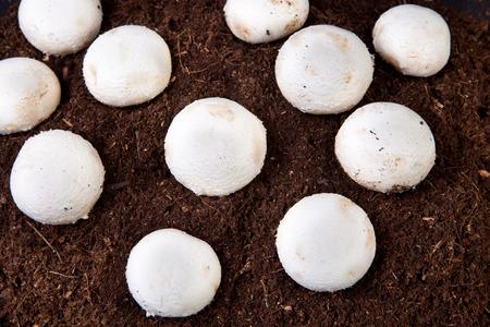 black soil: Several white mushrooms growing over black soil