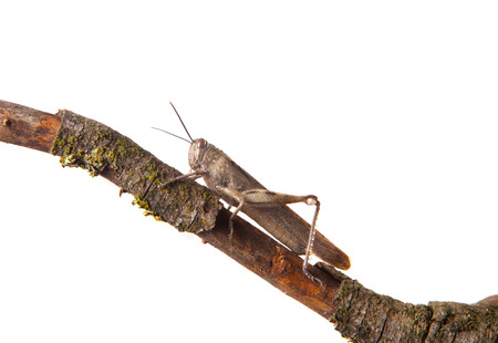Brown grasshopper in tree branch, isolated over white background photo