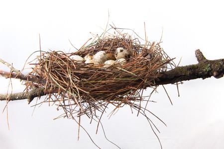Nido de pájaro de agujas de pino con huevos de codorniz. Aislado sobre fondo blanco y se coloca sobre la rama de árbol