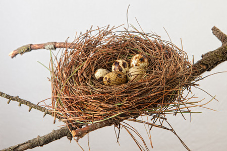 Bird nest made of pine tree needles with quail eggs. Isolated over white background and placed over tree branch Stock Photo