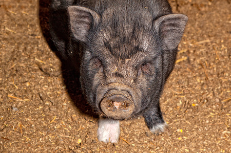 potbellied: Vietnamese Pot-bellied pig on a traditional farm