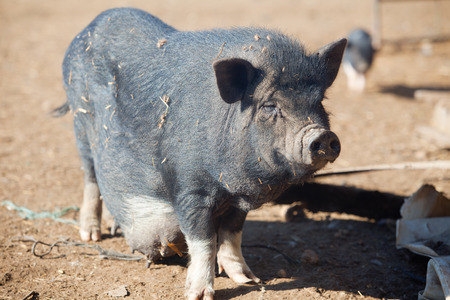 Vietnamese Pot-bellied female pig on the organic farm photo
