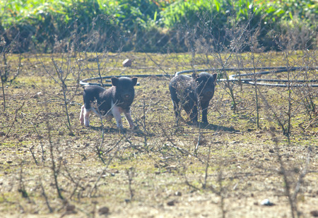 piglets: Two living free vietnamese piglets on traditional farm