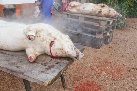 badajoz: Smoky carcass of pig after washing and hair removal