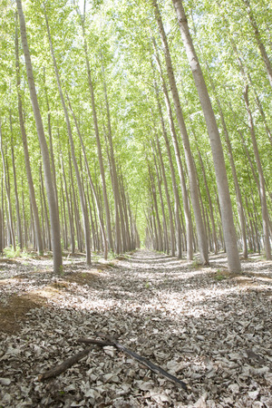poplar: Young poplar forest on springtime, Valdelacalzada, Spain Stock Photo