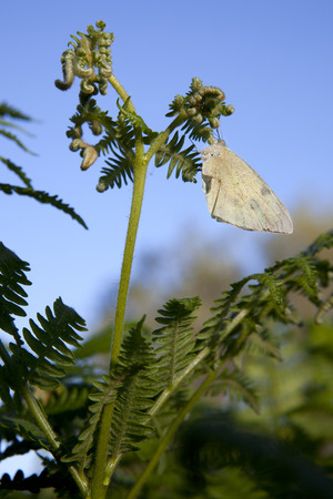 brassicae: Large White butterfly perched over a common bracken in  Donana National Park