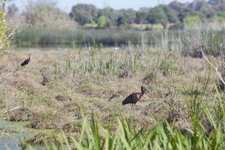 Glossy ibis at Donana National Park photo