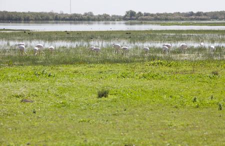 Flamingos on marshland chose to El Rocio village at Donana National Park, Spain Imagens