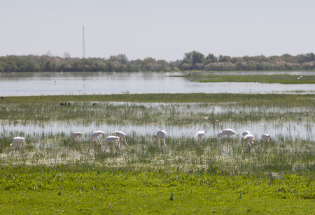Flamingos on marshland chose to El Rocio village at Donana National Park, Spain Standard-Bild
