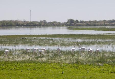 Flamingos on marshland chose to El Rocio village at Donana National Park, Spain 免版税图像