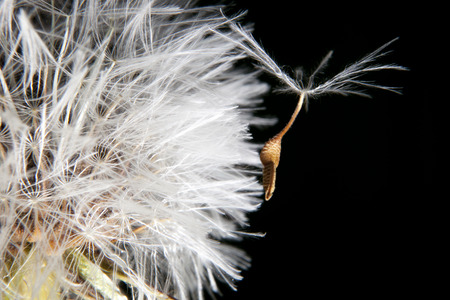 plant seed: Dandelion seed hanging on the white ball of the plant. Isolated over black background Stock Photo