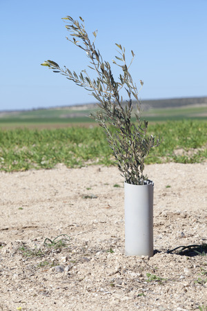 protected plant: Image of a little young olive tree plant protected by PVC pipe Stock Photo