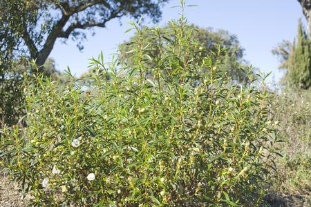 Gum rockrose or Cistus ladanifer in a meadow of Extremadura Spain photo