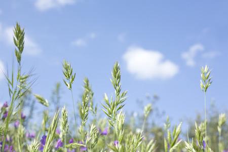 extremadura: Wild little green plants against the blue sky on dehesa landscape Extremadura Spain