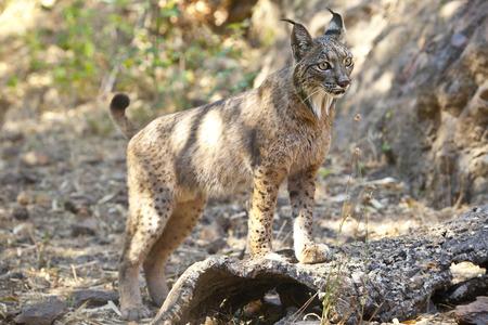 lince: Lince ibérico Lynx pardinus o al parque de vida salvaje