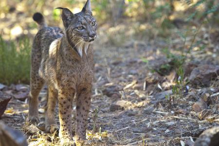 Iberian lynx or Lynx pardinus at wild life park