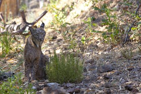 lince: Lince ib�rico Lynx pardinus o al parque de vida salvaje