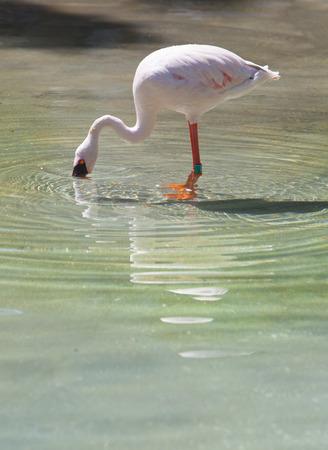feathering: Lesser Flamingo or phoenicopterus minor