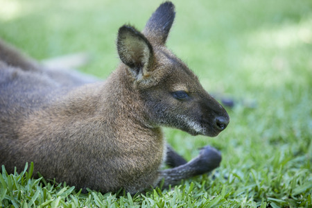 wallaby: Wallaby sleep on grass in natural park Stock Photo