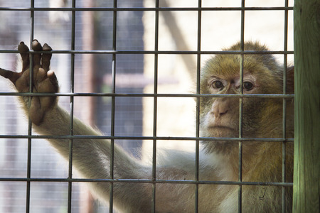 cage gorilla: Female monkey looking straight to the camera with resigned expression