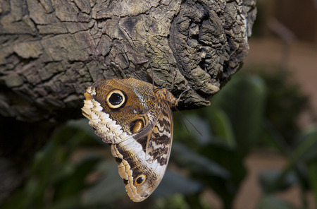 eyespot: Close-up of a beautiful tropical owl butterfly or Caligo Memnon, hanging of a trunk