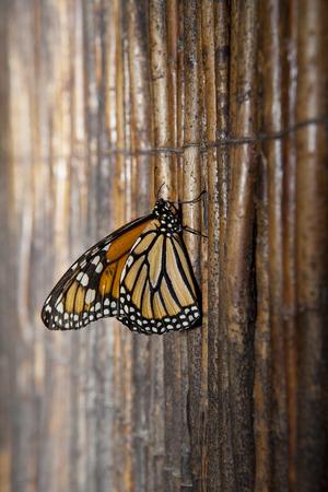 plexippus: Beautiful monarch butterfly or Danaus plexippus over wooden background made of wicker