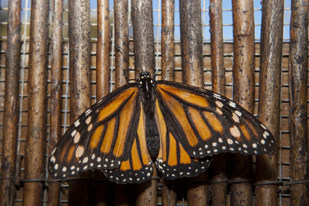 danaus: Beautiful monarch butterfly or Danaus plexippus over wooden background made of wicker