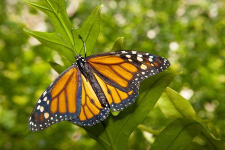 plexippus: Beautiful monarch butterfly or danaus plexippus over green vegetation