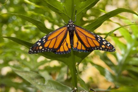 danaus: Beautiful monarch butterfly or danaus plexippus over green vegetation