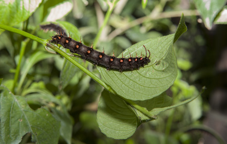 malachite: Malachite Butterfly black caterpillar feeding over green leaf